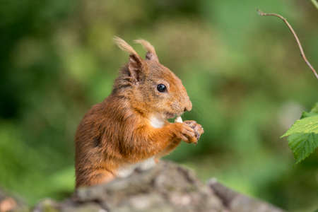 red squirrel: Red squirrel, Sciurus vulgaris, on a tree trunk eating a nut Stock Photo