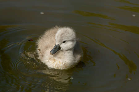 cygnet: Cygnet floating in the river, close up