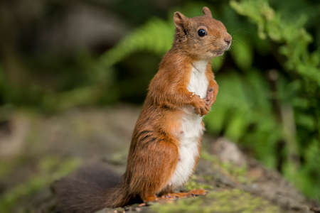 interested: Red squirrel, Sciurus vulgaris, standing on a tree trunk, looking interested Stock Photo