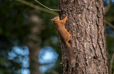 squirrel: Red squirrel, Sciurus vulgaris, climbing a tree trunk