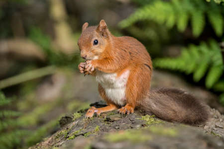 nibbling: Red squirrel, Sciurus vulgaris, on a tree trunk eating a nut Stock Photo