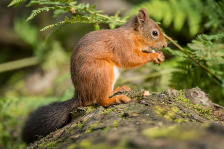 red squirrel: Red squirrel, Sciurus vulgaris, sitting on a tree trunk eating a nut