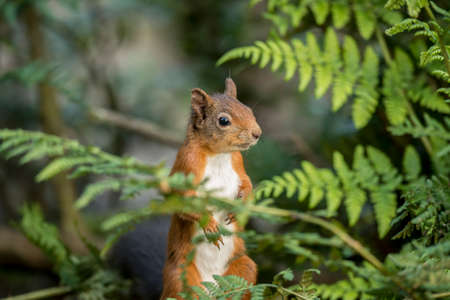 red squirrel: Red squirrel, Sciurus vulgaris, sitting on a tree trunk
