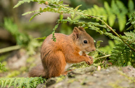 red squirrel: Red squirrel, Sciurus vulgaris, sitting on a tree trunk, eating a nut