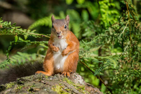 juvenile: Red squirrel, Sciurus vulgaris, juvenile, sitting on a tree trunk eating a nut