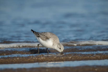 alba: Sanderling, Calidris alba, feeding on the shoreline
