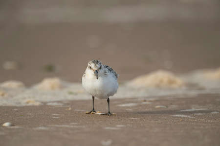 alba: Sanderling, Calidris alba, on a sandy beach