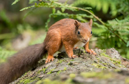 interested: Red squirrel, Sciurus vulgaris, sitting on a tree trunk looking interested