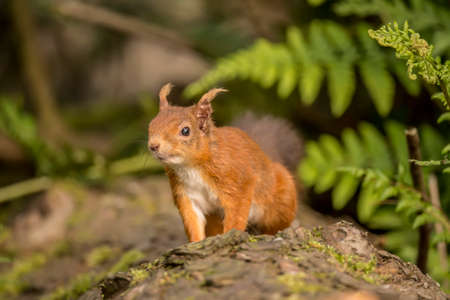 interested: Red squirrel, Sciurus vulgaris, on a tree trunk looking interested Stock Photo