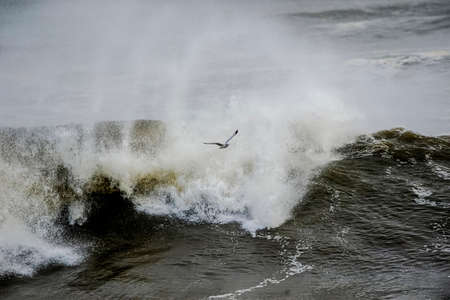 black headed: Black headed seagull flying in front of a wavy sea