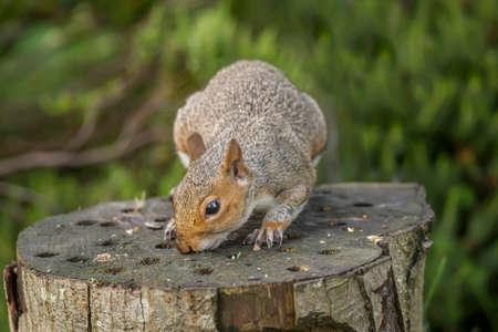 nibbling: Grey squirrel, Sciurus carolinensis, sitting on a tree trunk, smelling Stock Photo