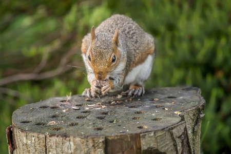 nibbling: Grey squirrel, Sciurus carolinensis, sitting on a tree trunk, eating a nut