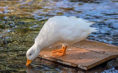 drinking water: Pekin duck, standing on a bit of wood in a river, drinking