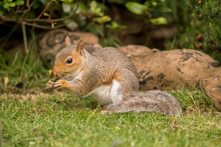 nibbling: Grey squirrel, Sciurus carolinensis, sitting on the grass eating a nut