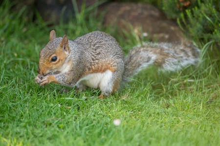 juveniles: Grey squirrel, Sciurus carolinensis, sitting on the grass eating a nut