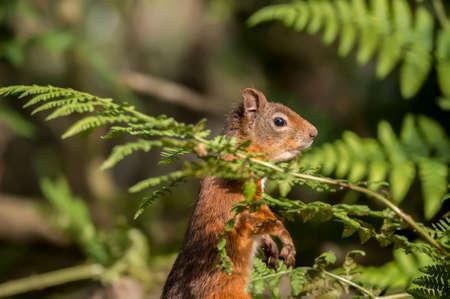red squirrel: Red squirrel, Sciurus vulgaris, upright on a tree trunk