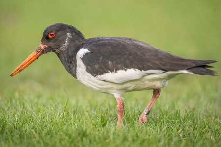 grass close up: Oystercatcher, Haematopus ostralegus, on the grass, close up