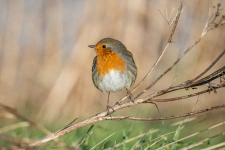 redbreast: Robin, redbreast, Erithacus rubecula, perched on a twig Stock Photo