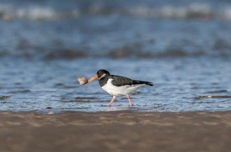 beak: Oystercatcher, Haematopus ostralegus, on the shorelinewith a shell in its beak