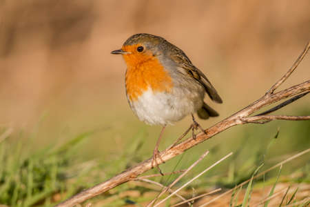 redbreast: Robin, redbreast, Erithacus rubecula, perched on a twig, close up