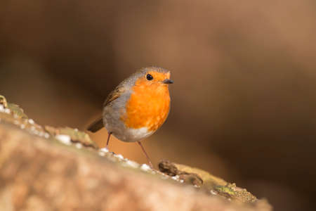 erithacus: Robin, redbreast, Erithacus rubecula, perched on a tree trunk
