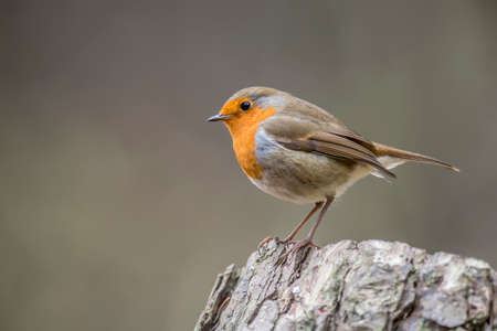 redbreast: Robin, redbreast, Erithacus rubecula, perched on a tree trunk