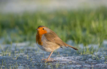 redbreast: Robin, redbreast, Erithacus rubecula, perched on the ice