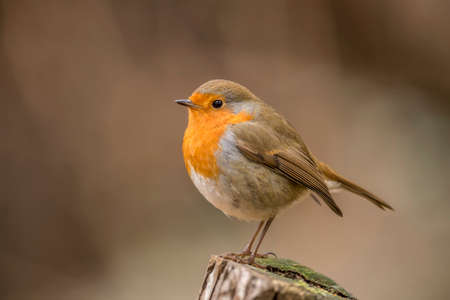 redbreast: Robin, redbreast, Erithacus rubecula, perched on a tree trunk, close up