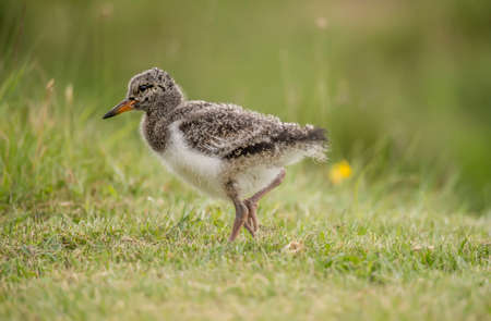grass close up: Oystercatcher, Haematopus ostralegus, juvenile standing on the grass, close up Stock Photo