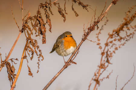redbreast: Robin, redbreast, Erithacus rubecula, perched on dry grass