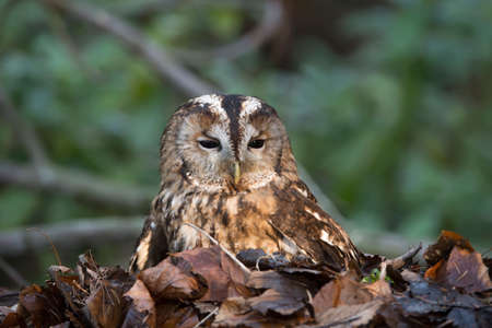 tawny owl: Tawny owl, Strix aluco, sitting in a pile of leaves Stock Photo