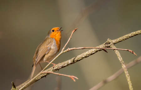tweeting: Robin, redbreast, Erithacus rubecula, perched on a twig, tweeting