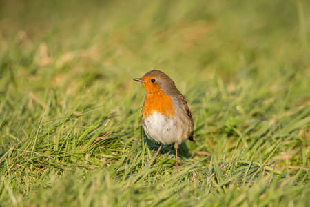 redbreast: Robin, redbreast, Erithacus rubecula, standing on the grass