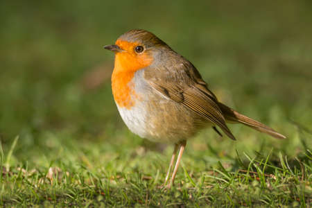 erithacus: Robin, redbreast, Erithacus rubecula, standing on the grass, close up