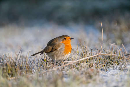 redbreast: Robin, redbreast, Erithacus rubecula, perched on frosty grass