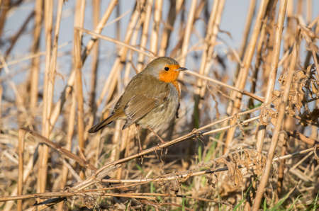 dry grass: Robin, redbreast, Erithacus rubecula, perched on dry grass