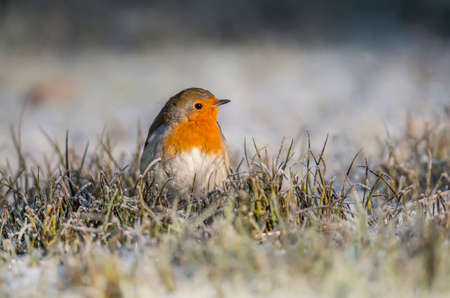Robin, redbreast, Erithacus rubecula, perched on frosty grass