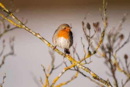 Robin, redbreast, Erithacus rubecula, perched on a twig Stock Photo