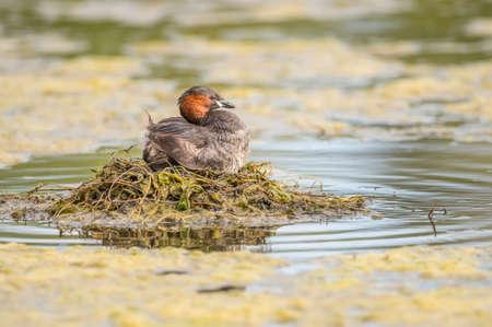 the ornithology: Little grebe, Tachybaptus ruficollis, sitting on its nest
