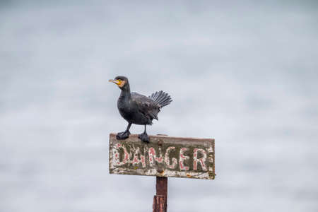 cormorant: Cormorant perched on a danger sign