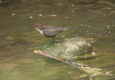 dipper: Dipper on a rock in a stream