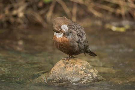 dipper: Dipper perched on a rock in a stream, preening itself
