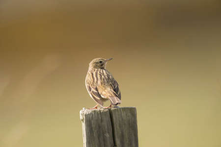 fence post: Meadow pipit perched on a fence post Stock Photo