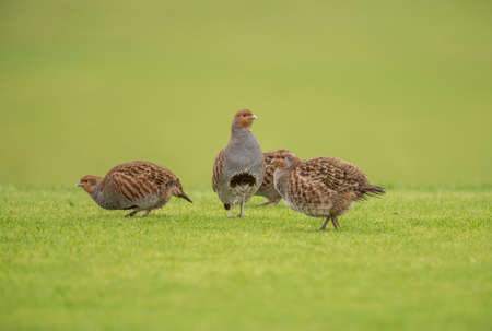 kuropatwa: Red-Legged partridge family on the grass