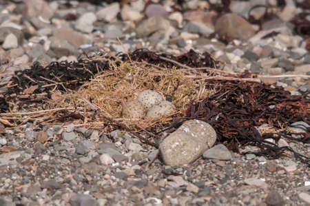 mull: Oystercatcher nest on the beach