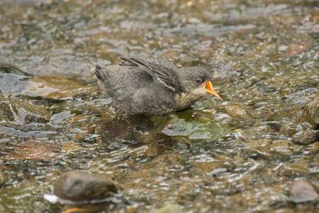 dipper: Dipper, juvenile, perched on a rock in a stream, squawking Stock Photo