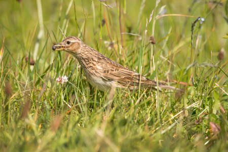 beak: Meadow pipit in the grass with bugs in its beak