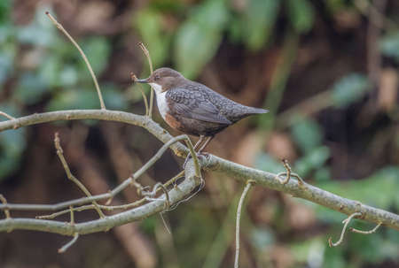 dipper: Dipper, perched on a branch Stock Photo