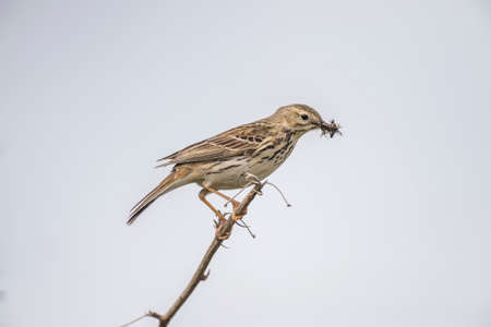 beak: Meadow pipit, perched on a twig with bugs in its beak
