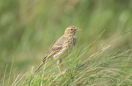 tweeting: Meadow pipit perched in the grass, tweeting